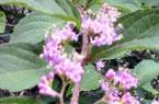 コムラサキ(花)